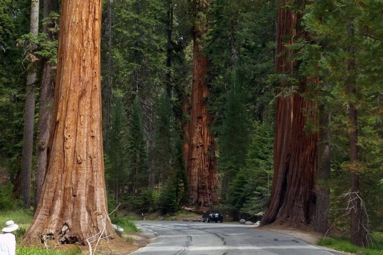 sequoia national park sequoia-trees-53183_1280.jpg