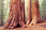 2907Sequoia[2]