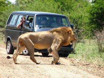 kruger lion